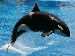 SeaWorld Orlando orca