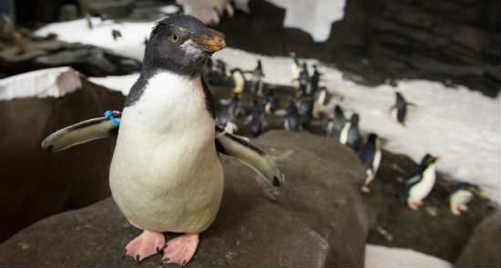 SeaWorld Orlando Antarctica grand opening - Rockhopper Penguin