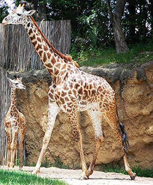 Disney's Animal Kingdom, Masai giraffe
