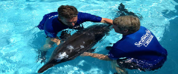 SeaWorld Orlando's Animal Rescue team with a rescued rough-tooth dolphin
