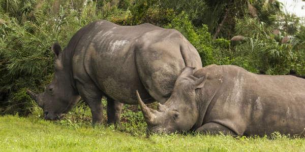Busch Gardens Tampa - white rhinos