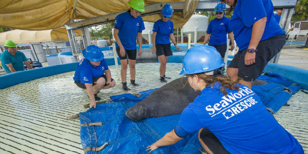 SeaWorld Orlando Rescue Team Cares for 800-Pound Pregnant Manatee