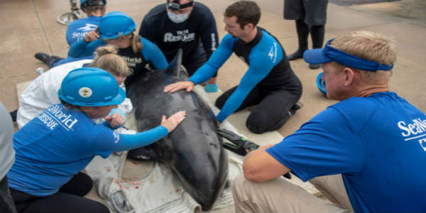 members of the SeaWorld Orlando Rescue Team and the Clearwater Marine Aquarium assisted in the rescue of an 290 pound adult melon-headed whale in Clearwater Beach.