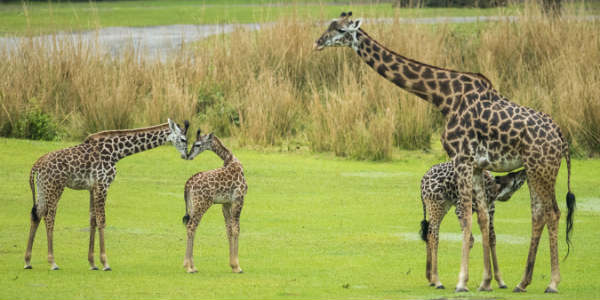 On Jan. 14, a baby Masai giraffe was born on the savanna at Disney's Animal Kingdom, and on March 12, it was reintroduced to the Kilimanjaro Safaris savanna.