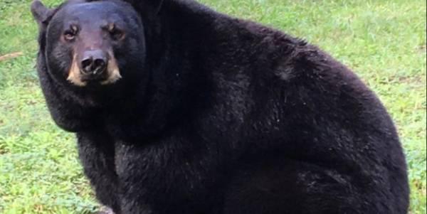 Central Florida Zoo's Ella the black bear