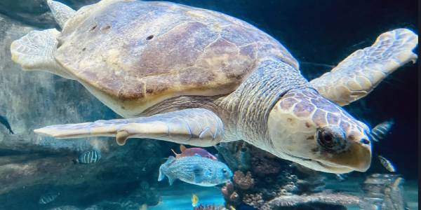 SEA LIFE Aquarium's Ted the loggerhead turtle