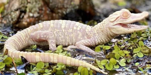 Wild Florida's Flurry the albino alligator